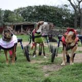Sillas de ruedas para perros especiales