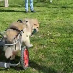 Este es BUDDY, un abuelito que no podia mover sus patas traseras.